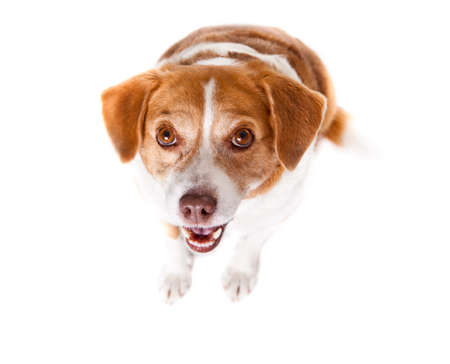 beagle mix: Hungry dog isolated on white waiting for a treat