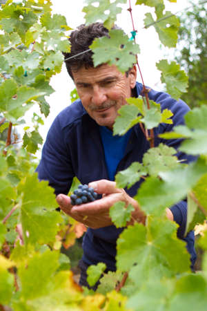 Man picking grapes from his vineyard Stock Photo
