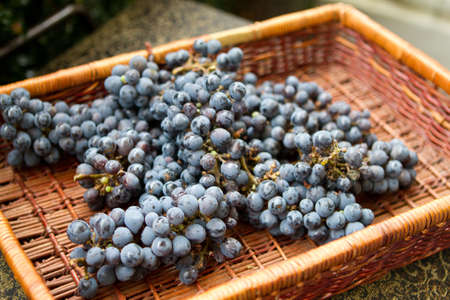 winemaking: Grapes Harvested in a Basket