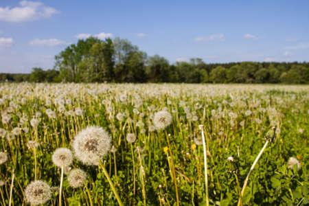 White dandelions in a farmers field with blue sky