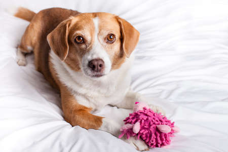 Pretty Dog looking at camera with a funny pink toy photo