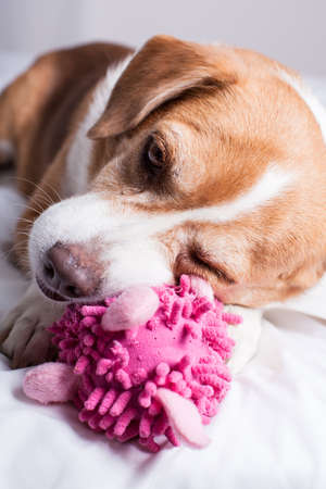 Pretty Dog playing with a funny pink toy photo