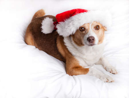 beagle mix: Happy Dog looking at camera with a Santa Hat on