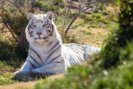 rare animals: Strong dominating female white tiger in green grass Stock Photo