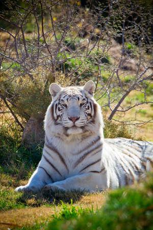 tigresa: Fuerte dominante tigresa blanca en la hierba verde