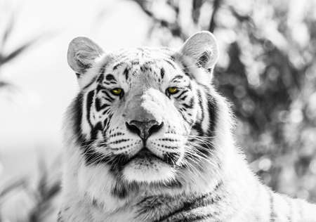 white tigers: Asian Tiger Black and White  Image