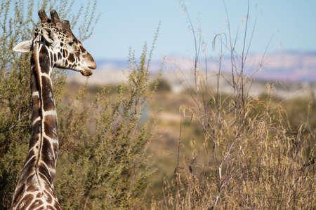 Graceful Giraffe in Nature profile view photo