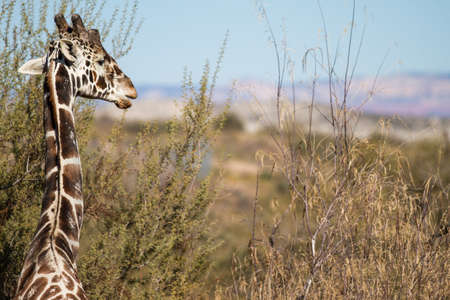 kruger national park: Graceful Giraffe in Nature profile view Stock Photo