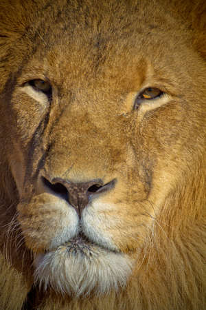 close up eyes: Majestic Lion Close up eyes are golden