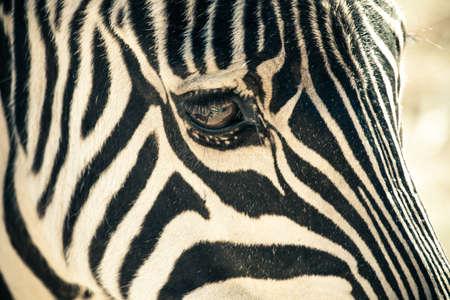Zebra face profile close up in nature Stock Photo - 17725503