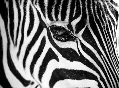 Zebra face profile close up as a black and white background
