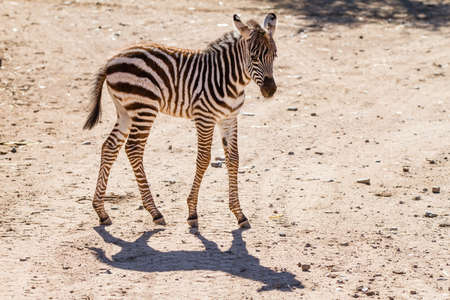 Baby Zebra one Month old and her shadow