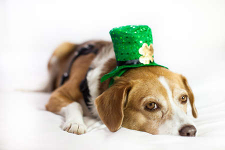 Funny Cute dog wearing a hat Saint Patrick's Day fun Stock Photo - 18025794