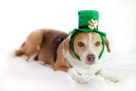 Funny Cute dog wearing a hat Saint Patrick's Day fun Stock Photo - 18025784