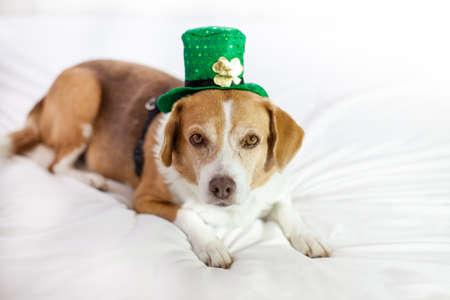 Funny Cute dog wearing a hat Saint Patrick's Day fun Stock Photo - 18025790