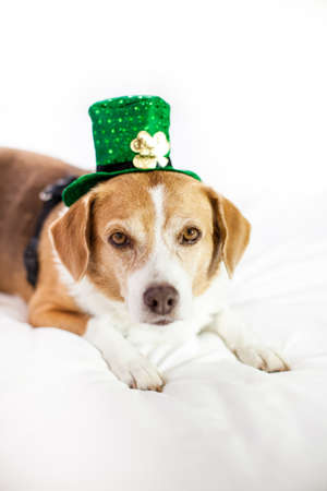 Funny Cute dog wearing a hat Saint Patrick's Day fun Stock Photo - 18025788