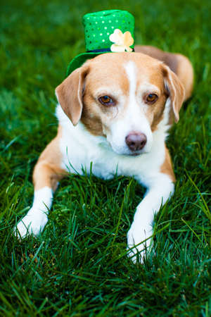 Cute dog in the grass wearing a shamrock hat on Saint Patrick Stock Photo - 18076155