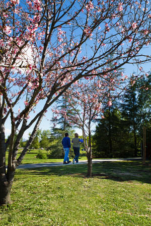 Cherry trees in bloom and a middle aged couple is walking the path for exercise