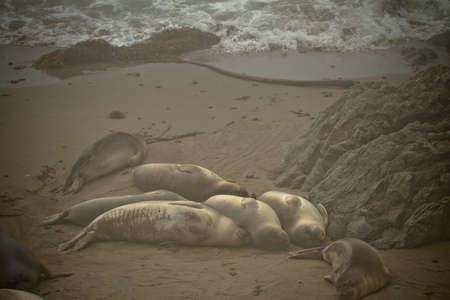 Baby Elephant Seals in Northern California near San Simeon photo