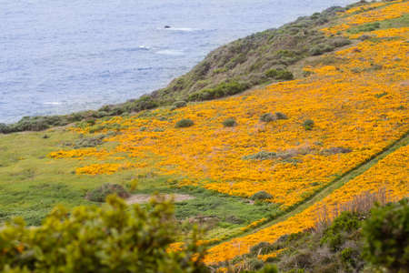 California Poppies on the coastline along Highway 1 between Big Sur and Cambria