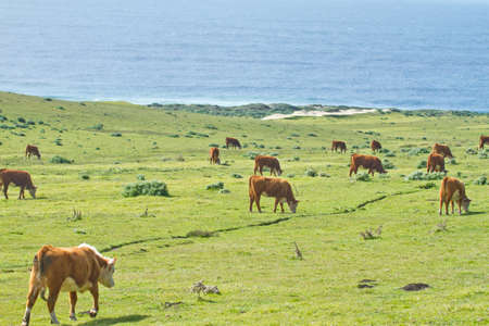 Cows on California coastline along Highway 1 between Big Sur and Cambria photo