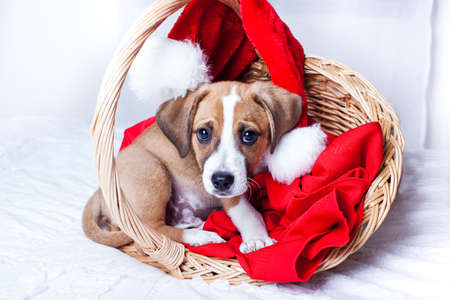 Adorable  Christmas Puppy in a git basket photo