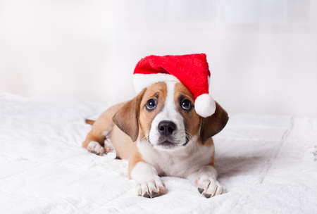 Adorable  Christmas Puppy on a bed photo