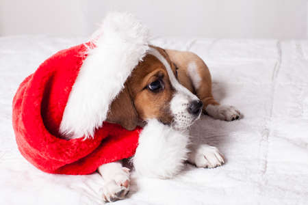 beagle mix: Adorable  Christmas Puppy on a bed Stock Photo