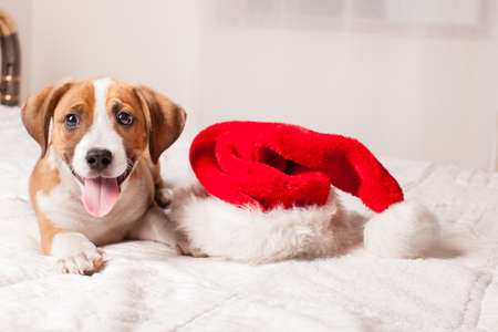 dog christmas: Adorable  Christmas Puppy on a bed Stock Photo