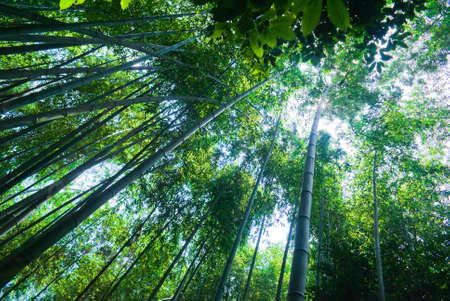 A second upward perspective shot of a bamboo forest in Arashiyama, Japan