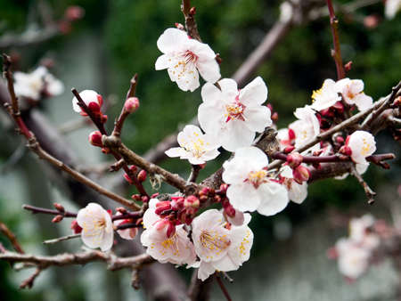 A cluster of plum blossoms
