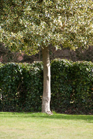 A single, variagated holly tree in front of a hedge