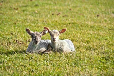 Two lambs lay side by side in a field