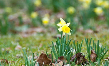 Two daffodils in the foreground of a daffodil field Stock Photo