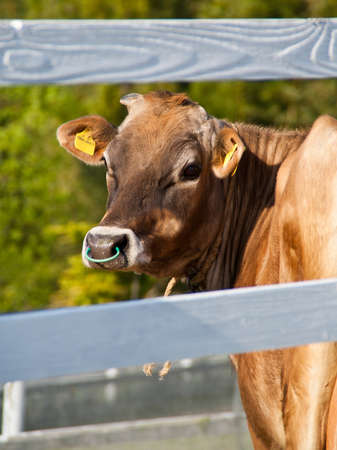 A portrait of a cow in a field looking back at the camera through white wooden fence Stock Photo