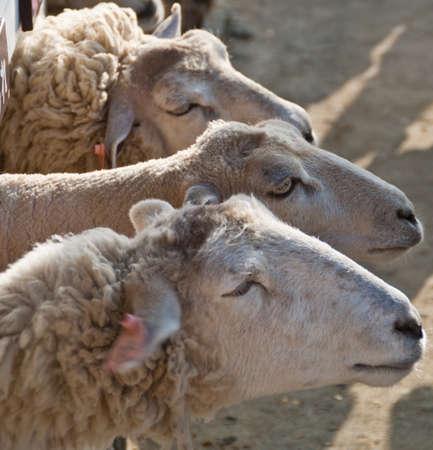 Three sheep in a row reach their heads out through a white fence