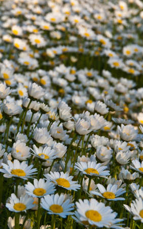 A carpet of daisies Stock Photo