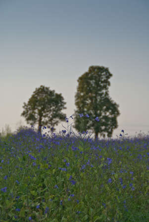 Two trees on the horizon with a field of purple flowers Stock Photo