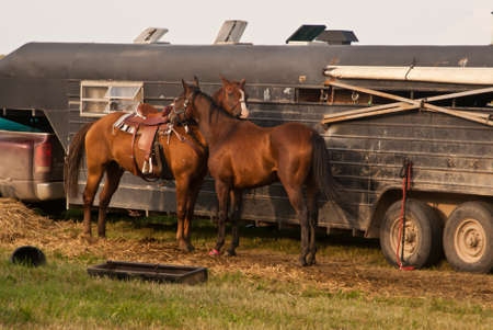 Two horses nuzzling in front of their trailer at the fairground Stock Photo
