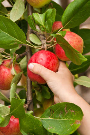 A childs hand picking a red apple from the tree