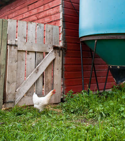 one white chicken outdoors on a farm Stock Photo