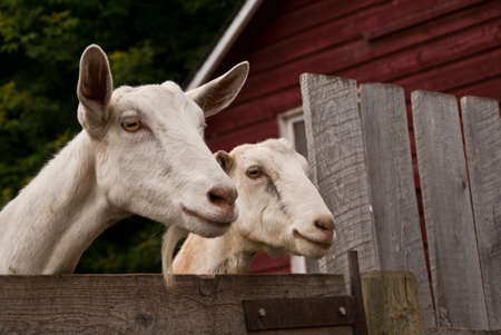 Two goats on a farm look over an aged wooden fence