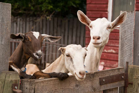 Three goats lean over an aged wooden fence on a farm with a painted red farm building in background