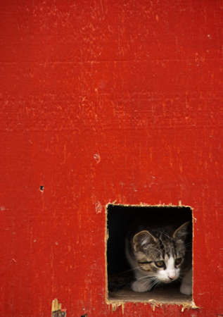 A kitten peers out of a square hole in a red farm building