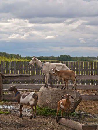 A group of goats on a farm with two goats standing on a rock Stock Photo