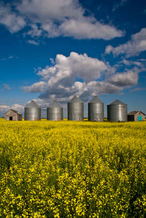 A row of steel grain bins in a field of yellow canola flowers Stock Photo