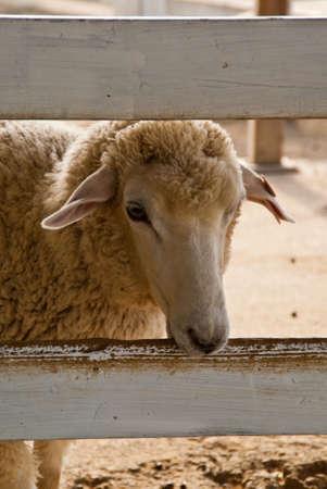 A single sheep peers through a fence