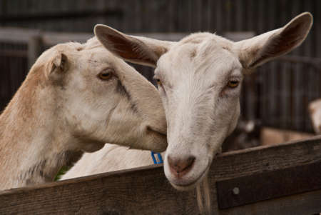 Two goats nuzzling over a fence