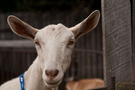 Portrait of a goat looking over a fence Stock Photo