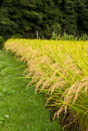 Closeup of a rice field